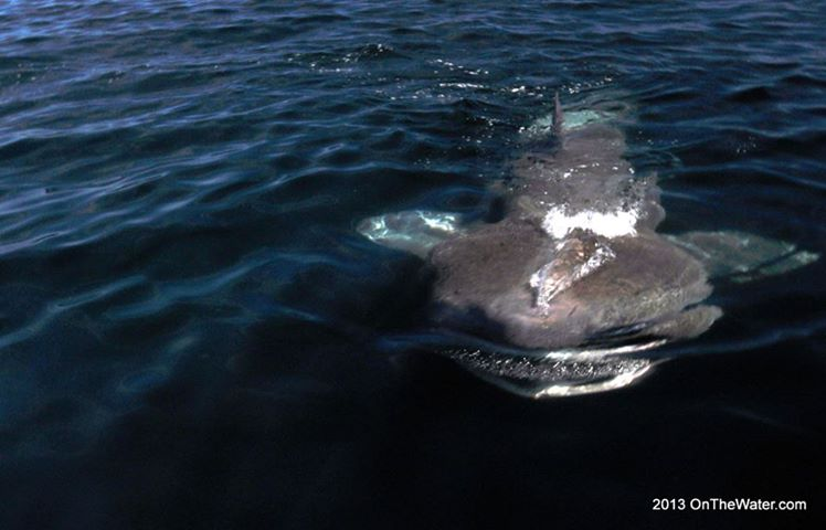 Video basking shark spotted off cape cod on the water for Cod fishing ri