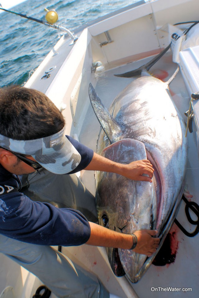 Capt. Lou preps the giant tuna