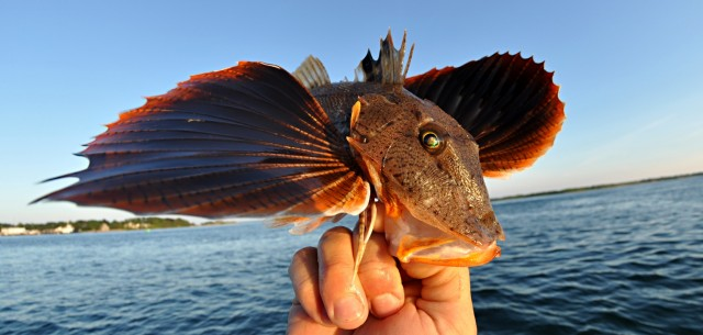 Eater Sea Robin1 640x305 Praise for Sea Robins