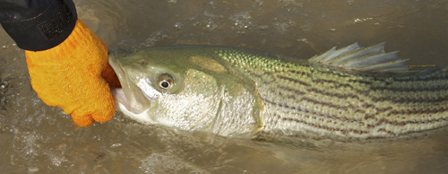 Wearing a glove while handling stripers will benefit the angler and the fish.