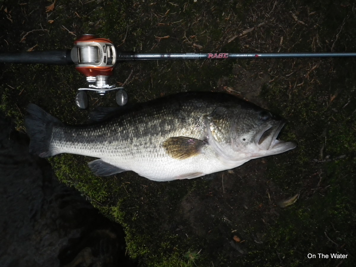 3-24-2012 - A big largemouth bass that fell to a spinnerbait rolled over a shallow flat.
