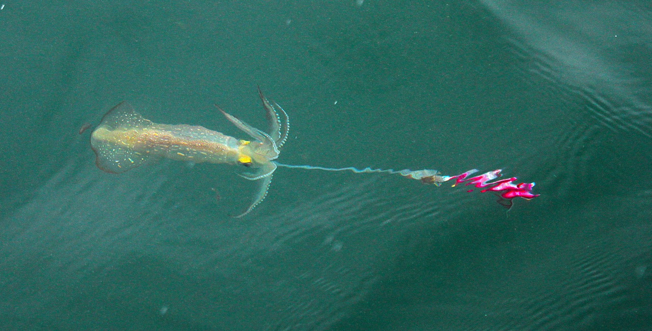 Cape cod squid fishing best fish 2017 for Best time to fish tomorrow
