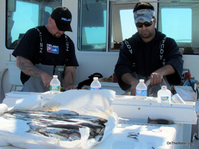 Prepping baits for giant bluefin tuna