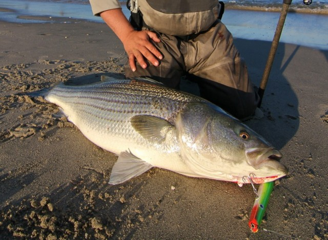 big striper lex lures pencil