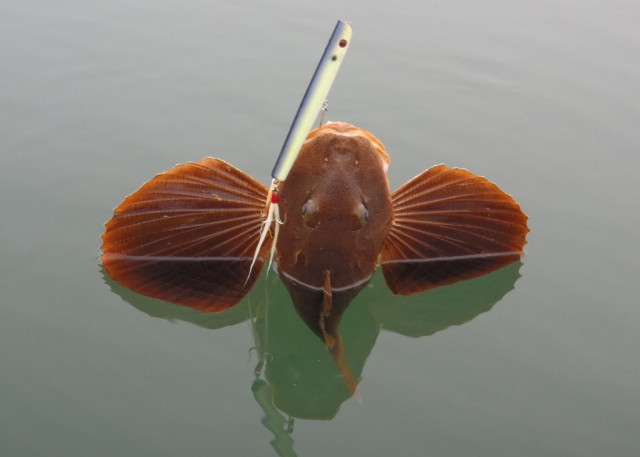Sea Robin caught on Baby Dorado Skid Stik 2 640x457 Praise for Sea Robins