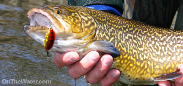 Tiger trout, a man-made hybrid of brook and brown trout, are stocked into many of the trout ponds and are an added bonus for anglers.