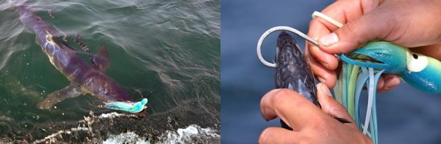 Butterflied Mackerel for shark bait