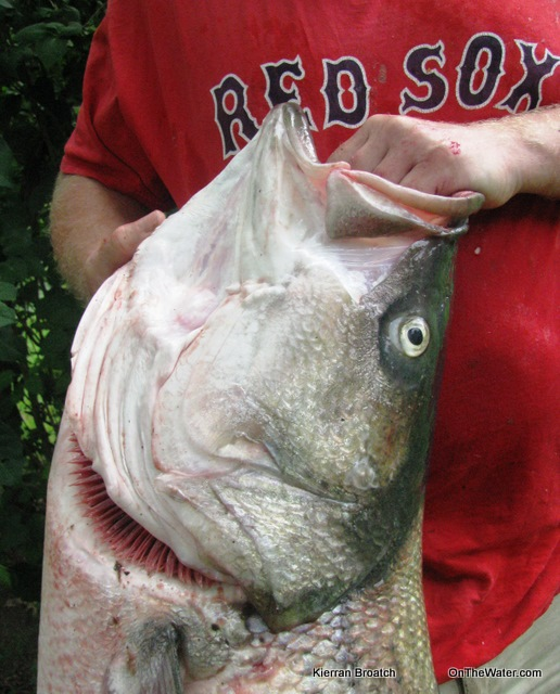 close up of the potential record striped bass