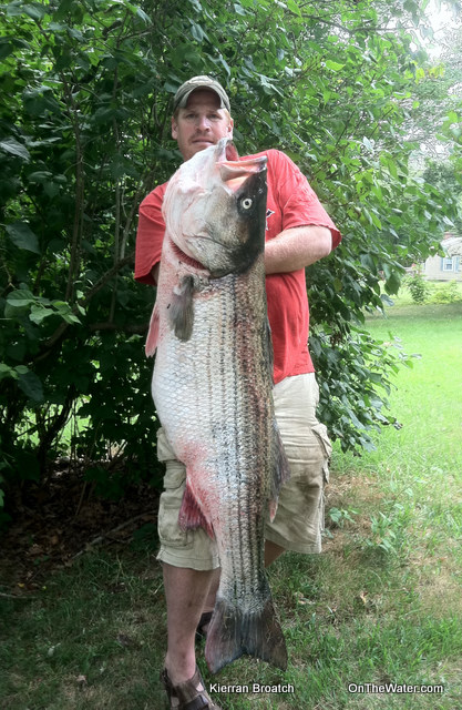 Potential World Record Striped Bass