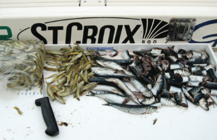 how to catch sardines for bait