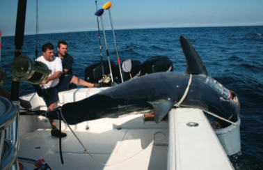 Mako muzzle: The crew of Insufishent Funds ties a 5-gallon bucket over the head of a big mako before hauling it into the cockpit.