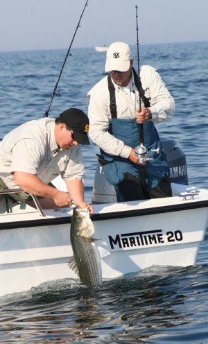 An angler unhooks a striped bass that fell for a Butterfly Jig off Provincetown. Many anglers are hanging up the heavy trolling gear and targeting fish in deeper water by vertical jigging.
