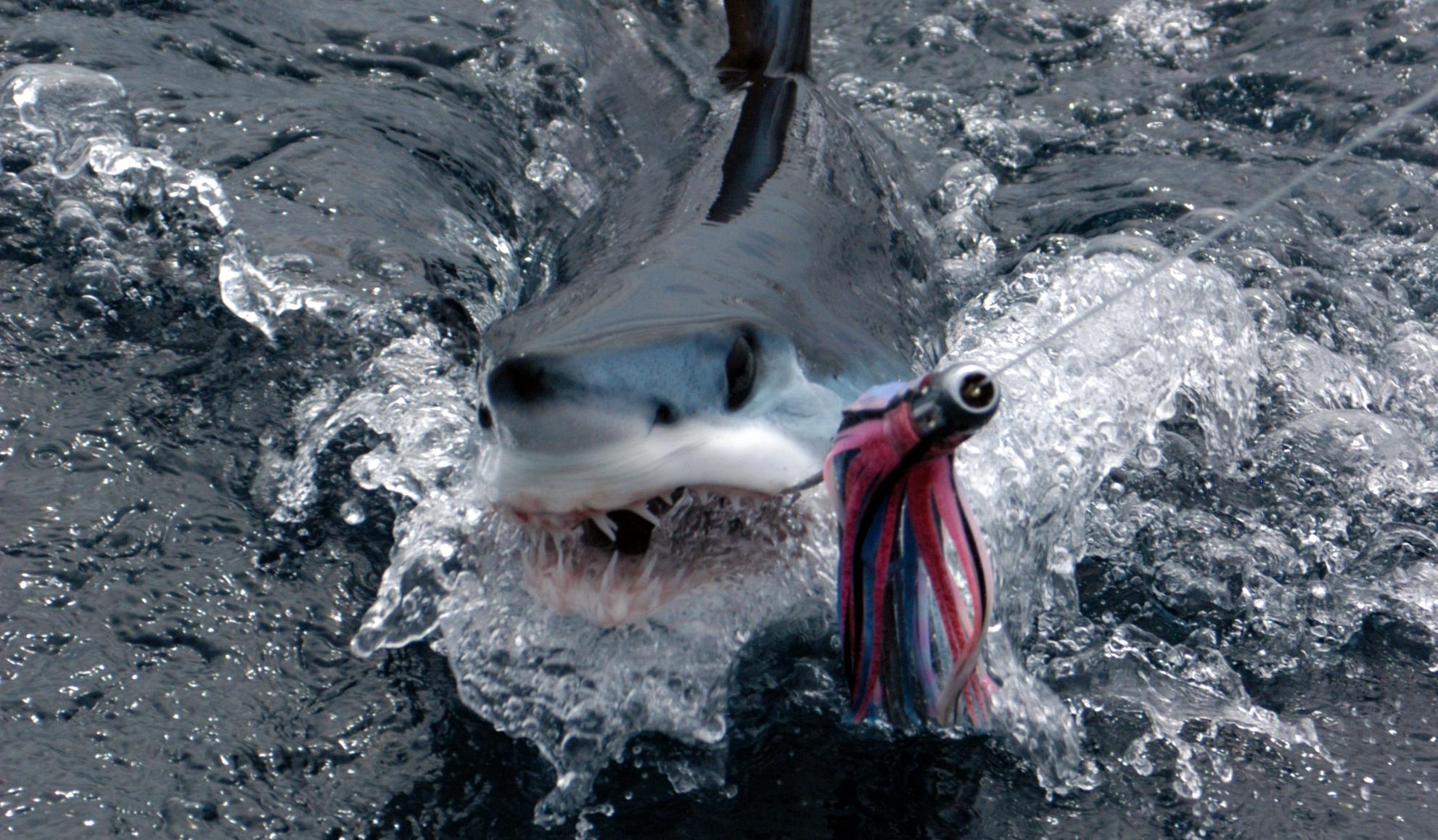 New york and new jersey shark fishing tournaments for Shark fishing nj