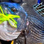 New York's Black Sea Bass Season To Open
