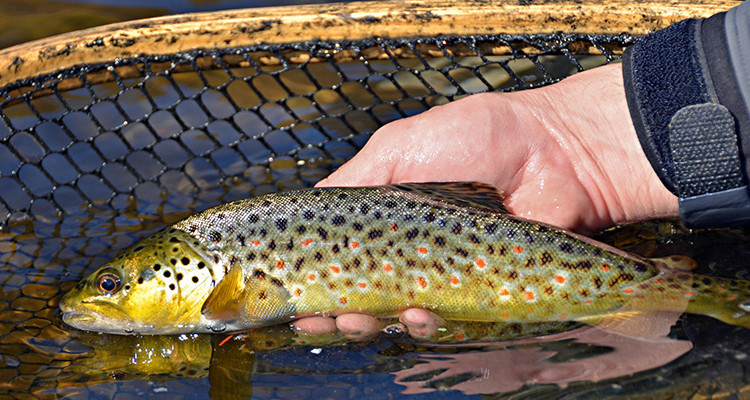 Massachusetts 2015 spring trout stocking has begun on for Mass fish stocking