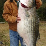World Record 70-pound Freshwater Striper