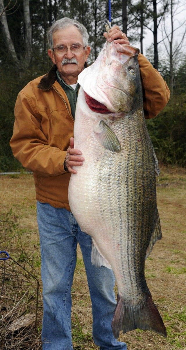World record 70 pound freshwater striper for Rhode island saltwater fishing regulations