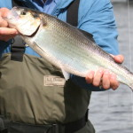 Counting the Delaware River Shad Run