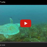 New England's Sea Turtles: The Four Species You'll Most Likely See