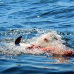 Mako vs Dolphin Off Block Island