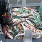 Striped Bass Poacher Gets Jail Time