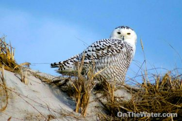 snow-owls-2