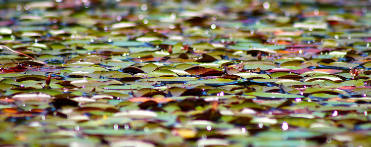 Lily pads not only offer shade to bass, they also host a wide variety of insects and baitfish for the bass to feed upon.