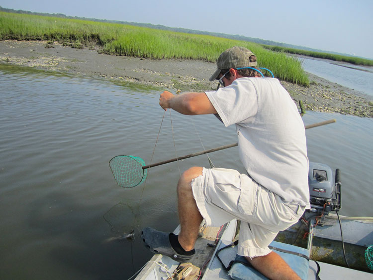 The most effective and fun way to catch crabs is with a baited handline and a dip net.