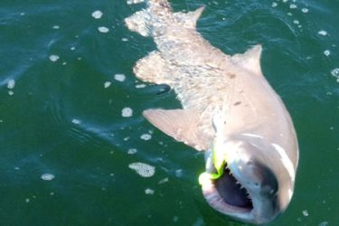 Cathy and Wayne Dries had a real thrill this past week when they hooked into this big sand tiger shark while fishing at the Firing Range in Long Island Sound.