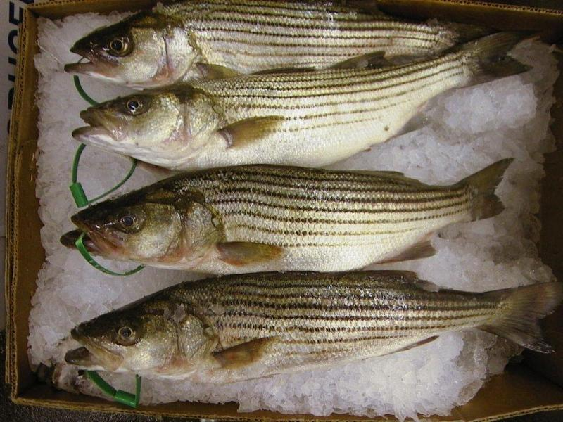 commercial striped bass