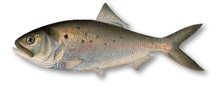 Why are these fish so important?  Besides being the single most important forage fish in the entire Atlantic Ocean, menhaden are one of the most efficient water filtration machines found in nature.
