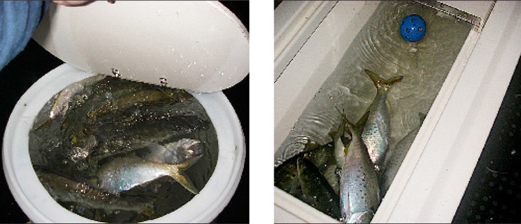 A round livewell (left) is much better at supporting live menhaden. Rectangular livewells (right) don't allow the fish to keep on the move, and they tend to get stuck in the corners. Since most boats are designed with rectangular livewells, you might want to consider adding a large removalble round livewell to your boat.