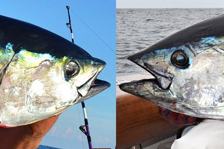 Identifying Bluefin vs. Yellowfin Tuna - On The Water