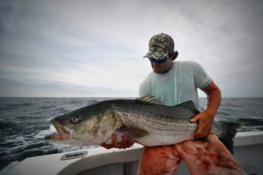Some huge bass continue to inhabit Rhode Island waters, like this one taken aboard Newport Sportfishing Charters.