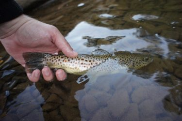 Caption: Photo by: Mark Hanes This Brown Trout was caught on North Fork Redbank Creek in the Fly Fishing Catch and Release section.  The fly that lured the trout to the surface was a Light Cahill Parachute dry fly.