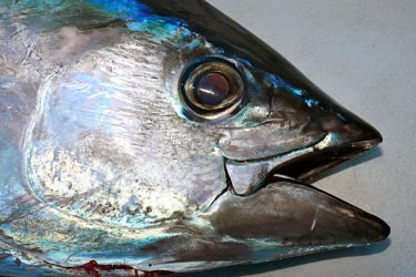 Learn more about catching bigeye tuna
