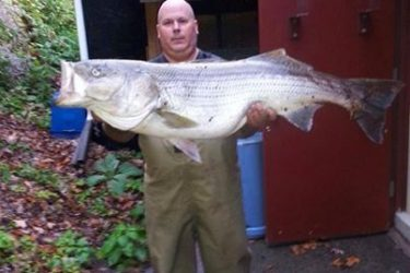 Big bass have been roaming the Housatonic River including this 44 pound cow that was landed from shore this week.