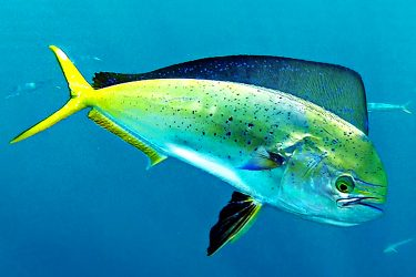 Light Tackle Mahi
