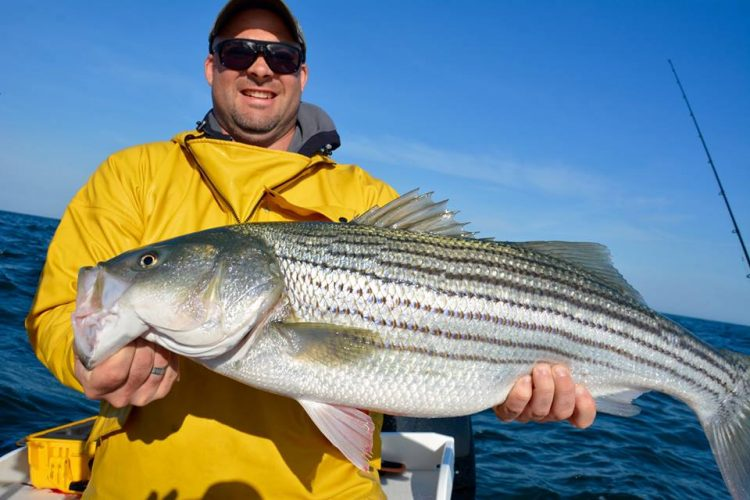 Striper fishing is firing up all over Cape Cod. This well-fed keeper was caught with Captain Bobby Rice and Reel Deal Fishing Charters.