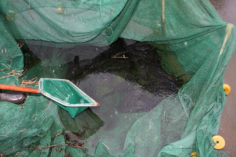 netted herring