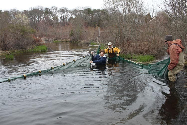 Corralling and netting of river herring