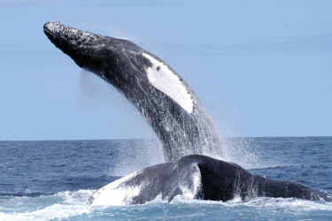 humpback_nefsc