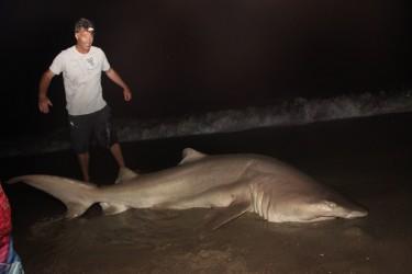 Huge sandbar shark