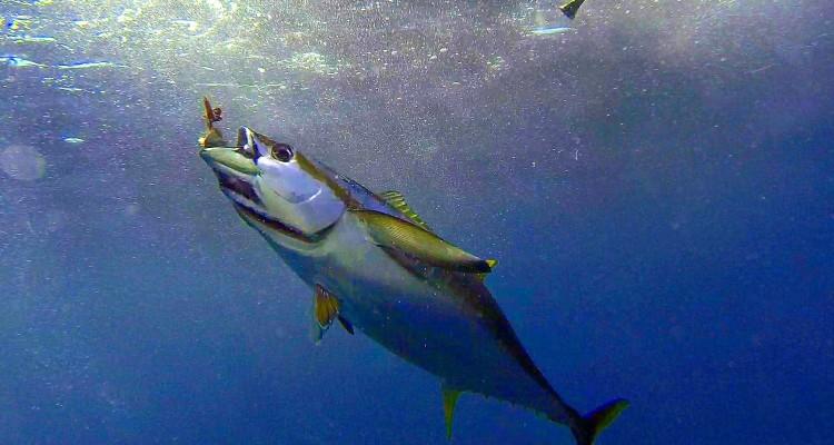Yellowfin tuna chunk fishing