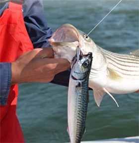 Striped bass bait guide on the water for Bass fishing with live bait