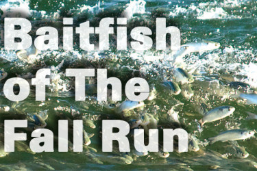 Baitfish of The Fall Run