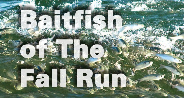 Baitfish of The Fall Run