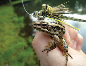 The leopard frog might be skeptical, but a bass wouldn't think twice about hitting this deerhair imitation.