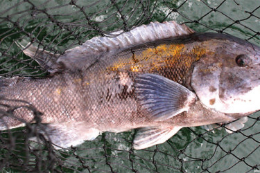 tautog-featured