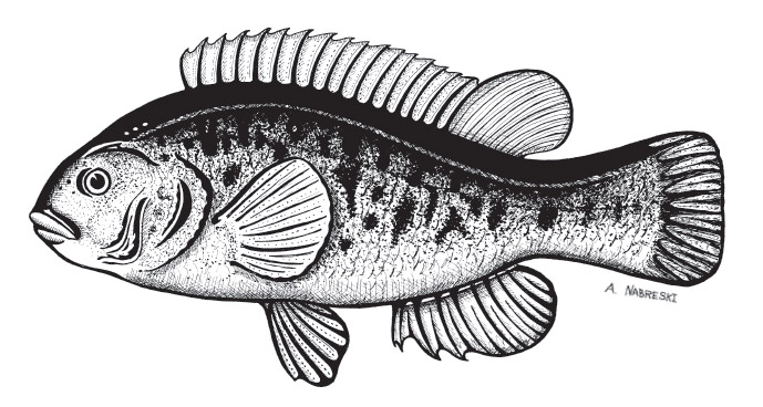 tautog-pen-and-ink